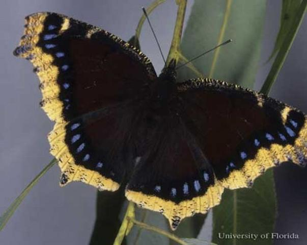 Figure 1. Dorsal view of wings of an adult mourning cloak, Nymphalis antiopa (Linnaeus), reared from larva collected by Don Hall in Beltrami County, Minnesota.