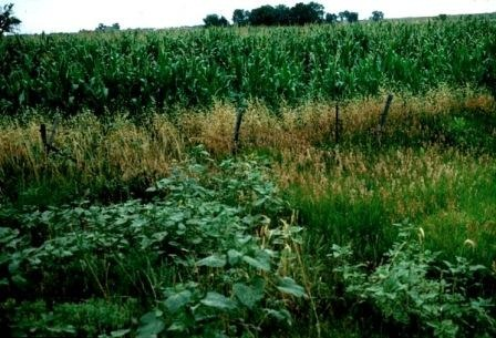 Figure 13.Weeds in fields and on field borders may provide resources for both pest and beneficial arthropods.