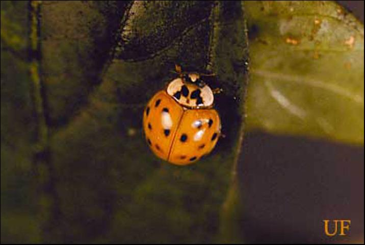 Figure 2. Spotted orange morth of the multicolored Asian lady beetle, Harmonia axyridis Pallas.