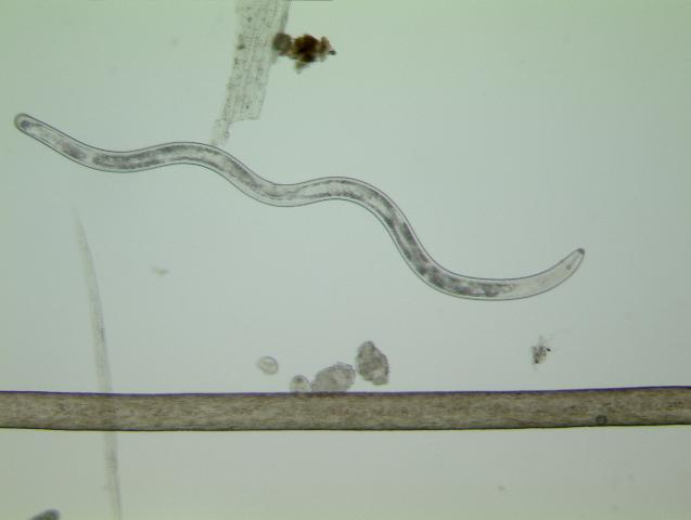 Figure 2. Size of a lance nematode (one of the largest plant-parasitic nematodes) compared to a human hair.