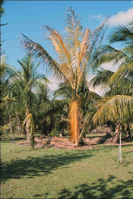Figure 2.Foliar yellowing symptoms of Cocos nucifera due to Lethal Yellowing.