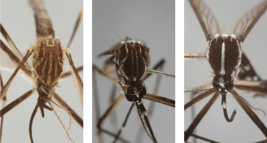 Figure 7.Although similar in appearance to other container-inhabiting species found in Florida, the gold lyre-like pattern on the scutum easily distinguishes Aedes japonicus (Theobald) (left), from Aedes aegypti (center), and Aedes albopictus (right).