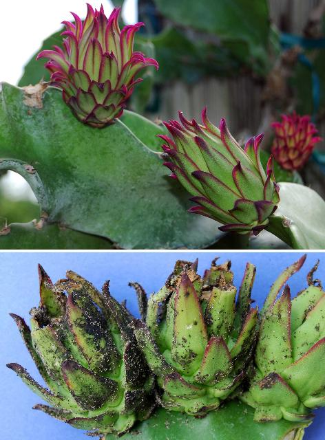 Figure 13. Young pitaya fruits. Top, un-infested; bottom, heavily infested with aphids and covered in black sooty mold.