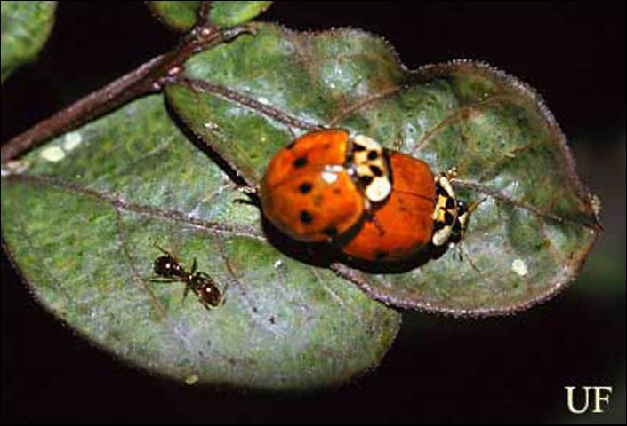 Figure 3. Spotted red morph of the multicolored Asian lady beetle, Harmonia axyridis Pallas.