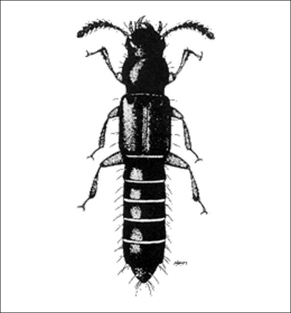 Figure 9.Tannea tenella (Erichson) (Osoriinae) 3.5 mm.