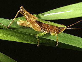Figure 1.Green slantfaced grasshopper, Dichromorpha viridis (Scudder).