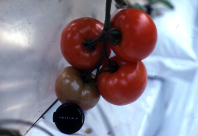 Figure 1.Beefsteak tomatoes on a cluster ready for harvest singly or as a cluster.