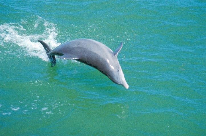 Figure 3.Bottlenose dolphin.