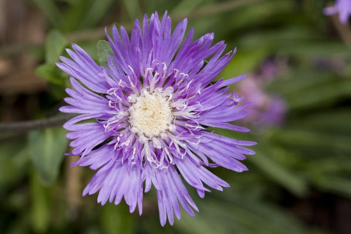 Figure 1.Stokes Aster (Stokesia laevis), a flowering native plant that can be used in landscaping.