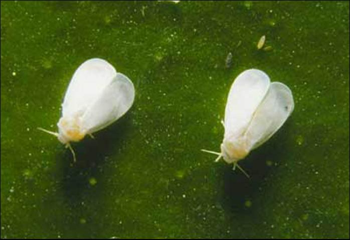 Figure 1. Adult cloudywinged whiteflies, Dialeurodes citrifolii (Morgan).