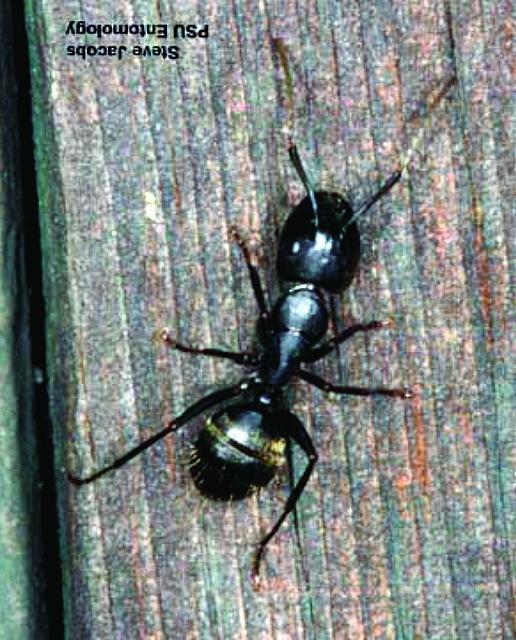 Figure 2.A black carpenter ant adult worker.