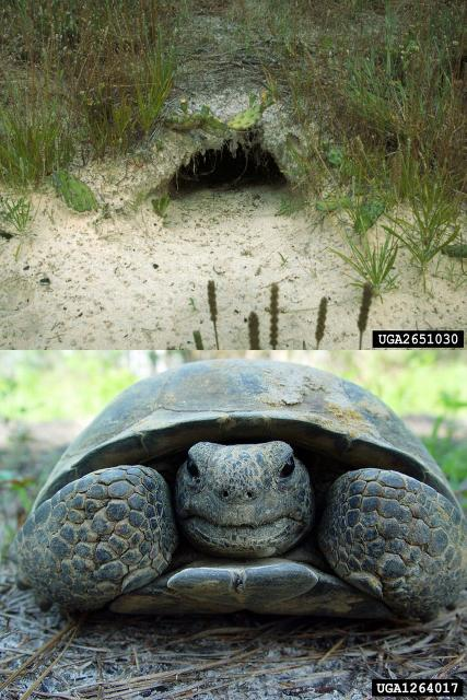 Figure 2.The entrance of a gopher tortoise burrow is flat on the bottom and rounded on top, matching the shape of the gopher tortoise carapace.