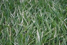 Enh11 Lh011 Zoysiagrass For Florida Lawns
