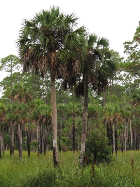 Figure 10.Sabal palm.
