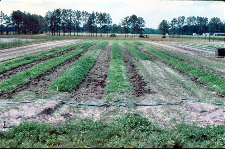 Figure 20.Weed growth also can be enhanced under row covers.