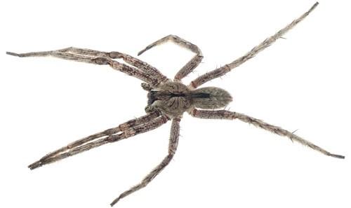 Figure 1.Adult malePhoneutriasp. from Madre de Dios, Peru, found inside a tent.