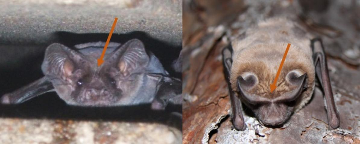 Figure 4. The ears of Brazilian free-tailed bats are not joined at the base (left), whereas those of the Florida bonneted bat are joined (right).