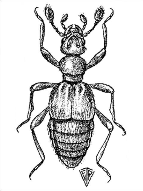 Figure 4.Trimiomelba dubia (LeConte).