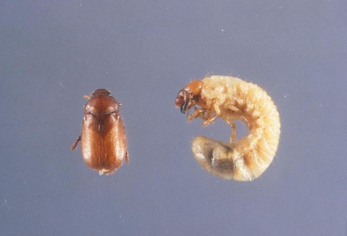 Figure 24.Masked chafer adult (left) and larva (right).