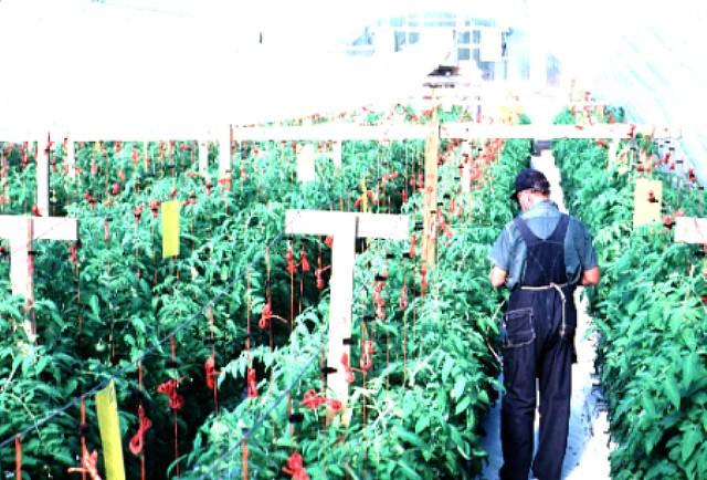 Figure 1.Greenhouse operator pollinating tomatoes.