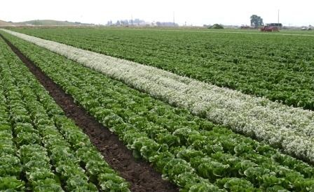 Figure 9.Alyssum intercropped with organic romaine on a farm in California. Alyssum provides floral resources for syrphid adults, which lay eggs on aphid-infested romaine. The syrphid larvae feed on aphids.
