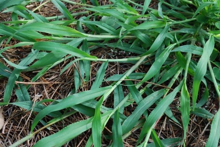 Figure 2.Crabgrass.