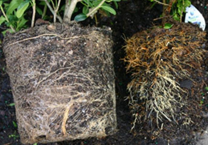 Figure 5.The shaved rootball (right) is smaller than the rootball before shaving (left).