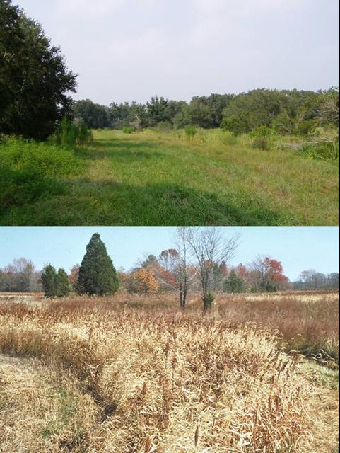 Figure 4. Management for doves should focus on providing shrubs and trees for nesting along habitat edges (top), near foraging areas of grasses and grains (bottom).