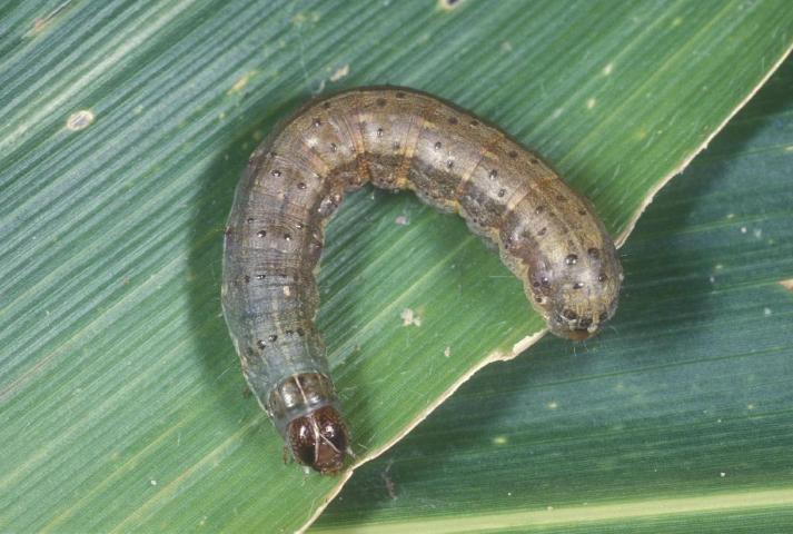 Figure 1.Fall armyworm caterpillar.