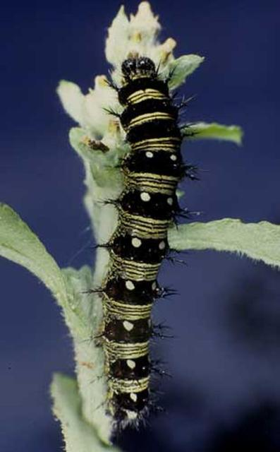 Figure 4. Larva of the American lady, Vanessa virginiensis (Drury). In some larvae, the median black band is much wider so that the larvae appear to be black with narrow yellow lines.