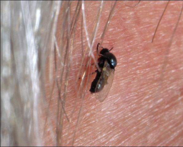 Figure 9. Black fly.