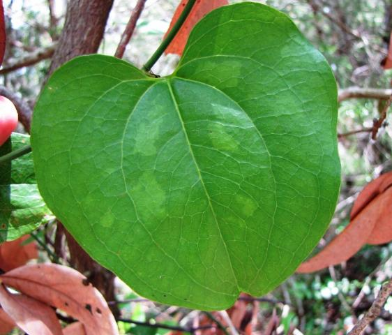 Figure 10. Smilax rotundifolia leaves typically have a cordate or rounded appearance.