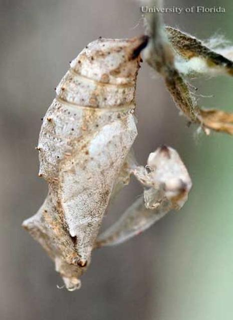 Figure 10. Old pupal skin of a recently emerged adult American lady, Vanessa virginiensis (Drury).