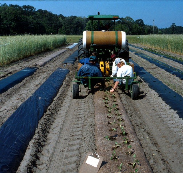 Figure 5.A water-wheel tranplanter such as this one in use at Live Oak can place plants at various spacing and apply water or fertilizer solution with the plants.