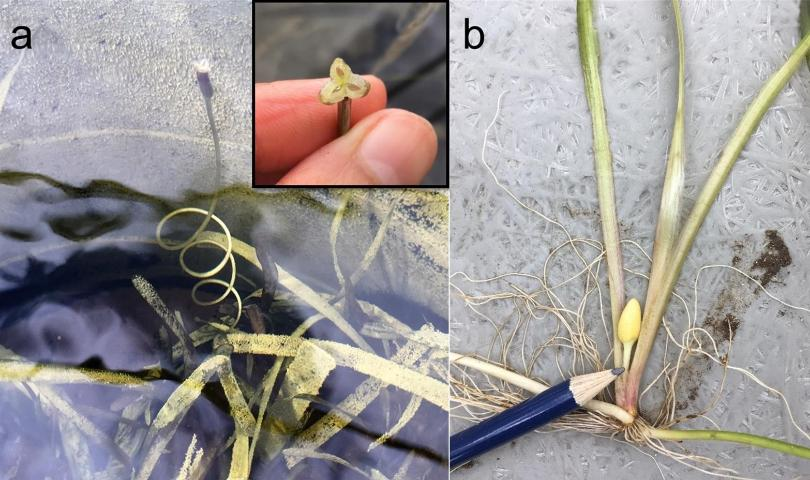 Figure 4. a) Tapegrass (Vallisneria americana) female (pistillate) flower reaching the water surface for pollination. b) Male (staminate) flower capsule.