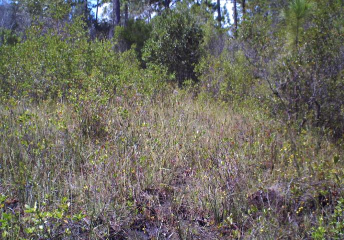 Figure 5.This seepage slope has become overgrown with woody species in the absence of frequent fire.