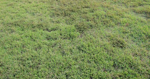 Figure 2. A zoysia lawn infested by the grass root-knot nematode, Meloidogyne graminis Whitehead, showing decline and weed proliferation.
