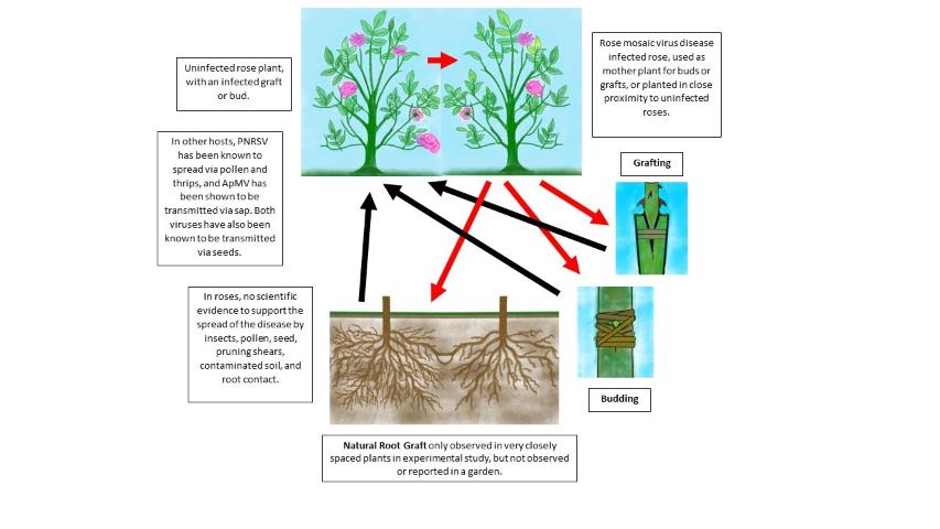 Figure 13.Mode of transmission of rose mosaic virus disease from infected to healthy plants.