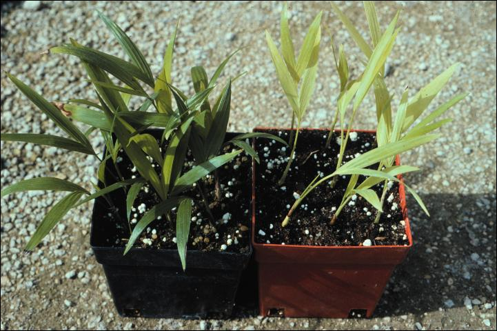 Figure 2. Nitrogen deficiency in Chamaedorea seifrizii (bamboo palm) seedlings on right.