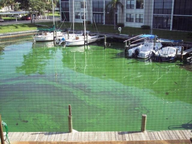 Figure 1. A bloom of blue-green algae on the water surface in the St. Lucie Estuary, FL.