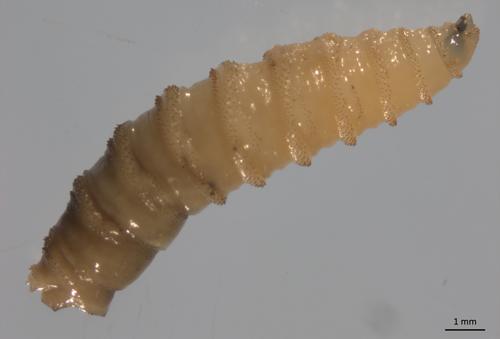 Figure 2.Larval primary screwworm, Cochliomyia hominivorax (Coquerel).