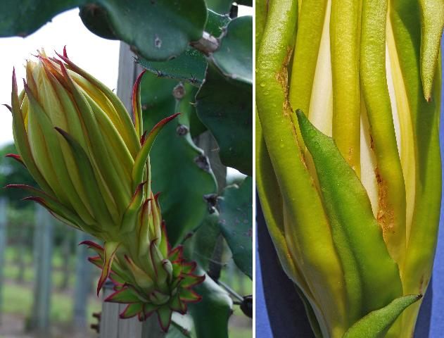 Figure 29. Pitaya flowers. Left, undamaged flower. Right, sepals with damage caused by banded cucumber beetles, Diabrotica balteata LeConte.