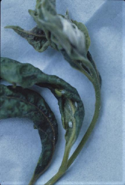 Figure 12. Psylla nymphs on distorted leaves.