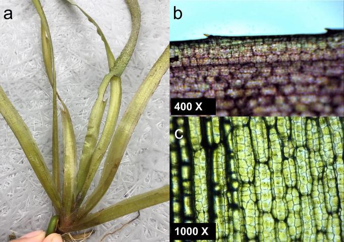 Figure 2. a) Tapegrass (Vallisneria americana) leaves grow in clusters (rosettes). b) Leaves under 400x magnification. c) Leaves under 1000x magnification. Notice that tapegrass leaves are thin and flat with toothed margins and lack stomata.