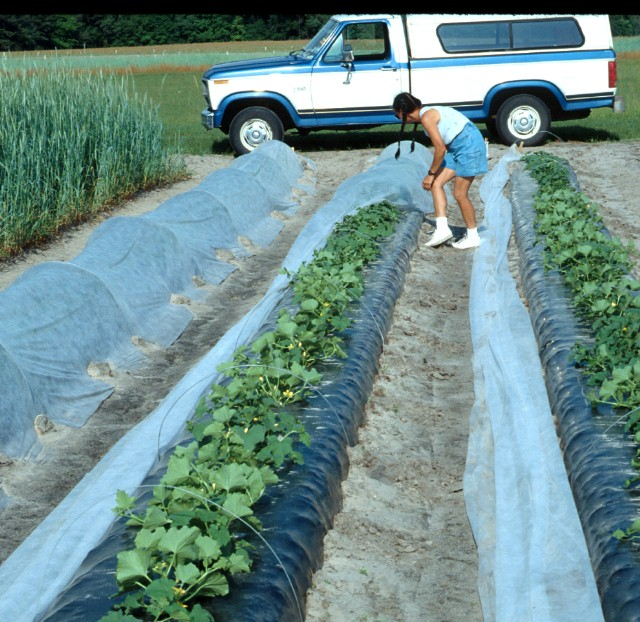Figure 10.Row tunnels used in conjunction with plastic mulch for early cantaloupe production in North Florida.