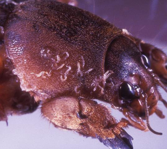 Figure 12.Steinernema scapterisci nematodes emerging from an adult mole cricket in the laboratory.