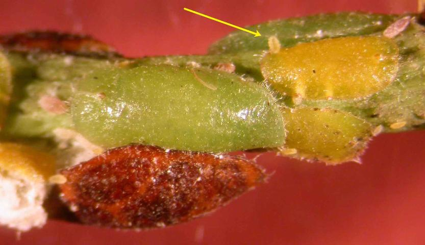 Figure 20. Philephedra tuberculosa Nakahara & Gill scale on a papaya (Carica papaya) stem, females and crawlers or nymphs (yellow arrow). Determined by J. Peña, UF/IFAS.