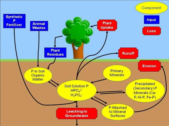 Figure 1.The phosphorus cycle.