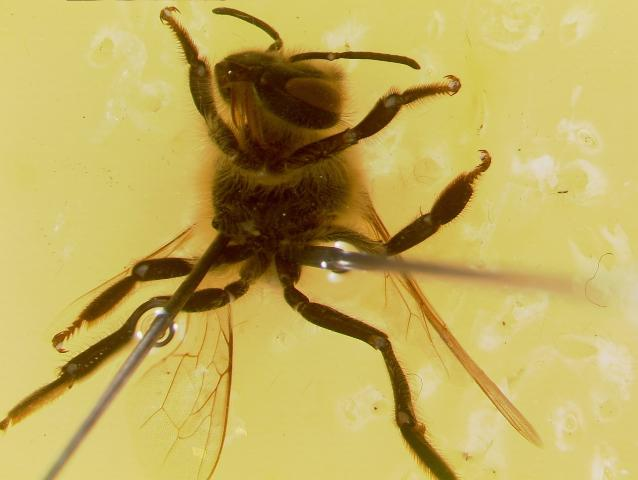 Figure 6. A secured bee with its abdomen removed.