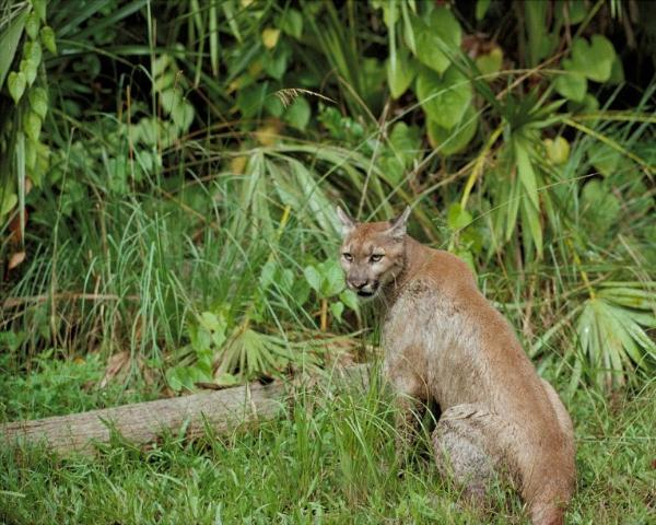 Figure 1.Florida panther.